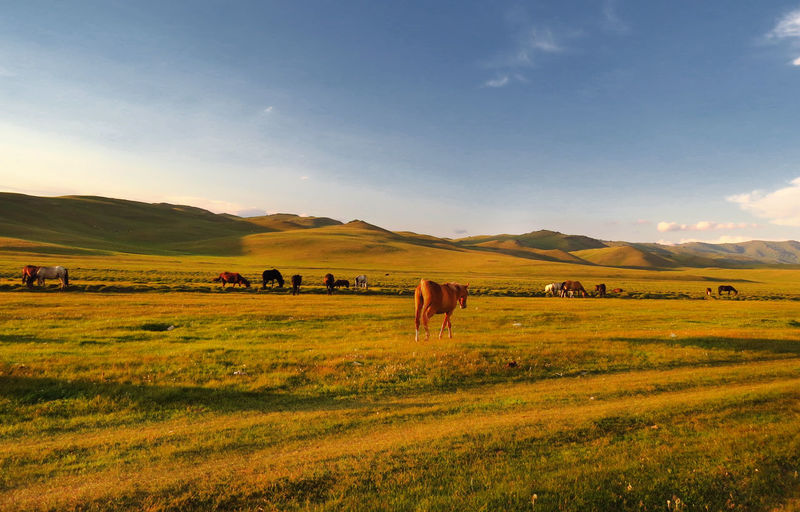 Horses at sunset on the grass in mountains of Kyrgyzstan Horses Kyrgyzstan Animal Themes Beauty In Nature Cattle Cow Day Domestic Animals Farm Animal Field Grass Grazing Landscape Large Group Of Animals Livestock Mammal Nature No People Outdoors Sky Sunset
