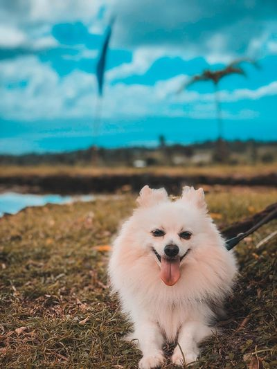 White small cute little pomeranian puppy dog is looking at the camera while lying on the grass field