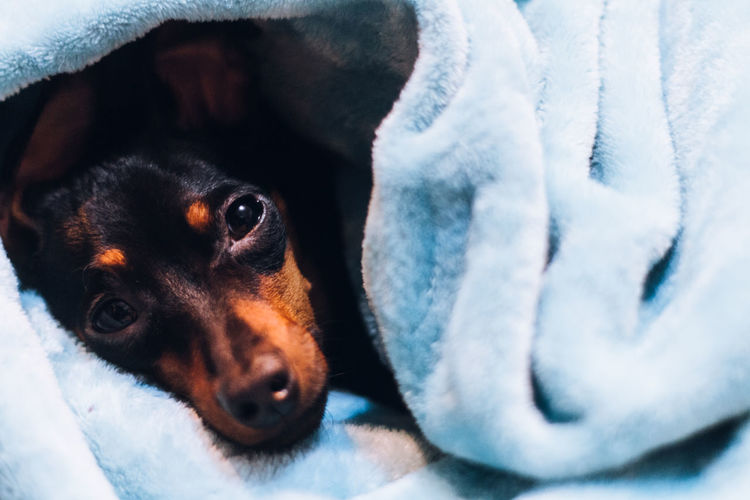Close-Up Portrait Of Dog Wrapped In Blanket