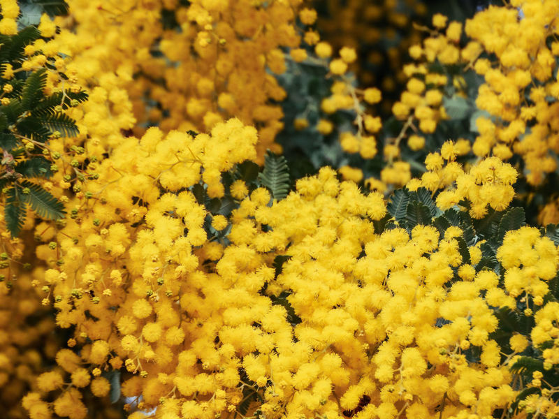 Golden wattle tree flowers Abundance Beauty In Nature Close-up Day Flower Flower Head Flowering Plant Fragility Freshness Full Frame Golden Wattle Growth Inflorescence Nature No People Outdoors Petal Plant Selective Focus Vulnerability  Wattle Wattle Flower Wattle Tree Yellow Yellow Flowers