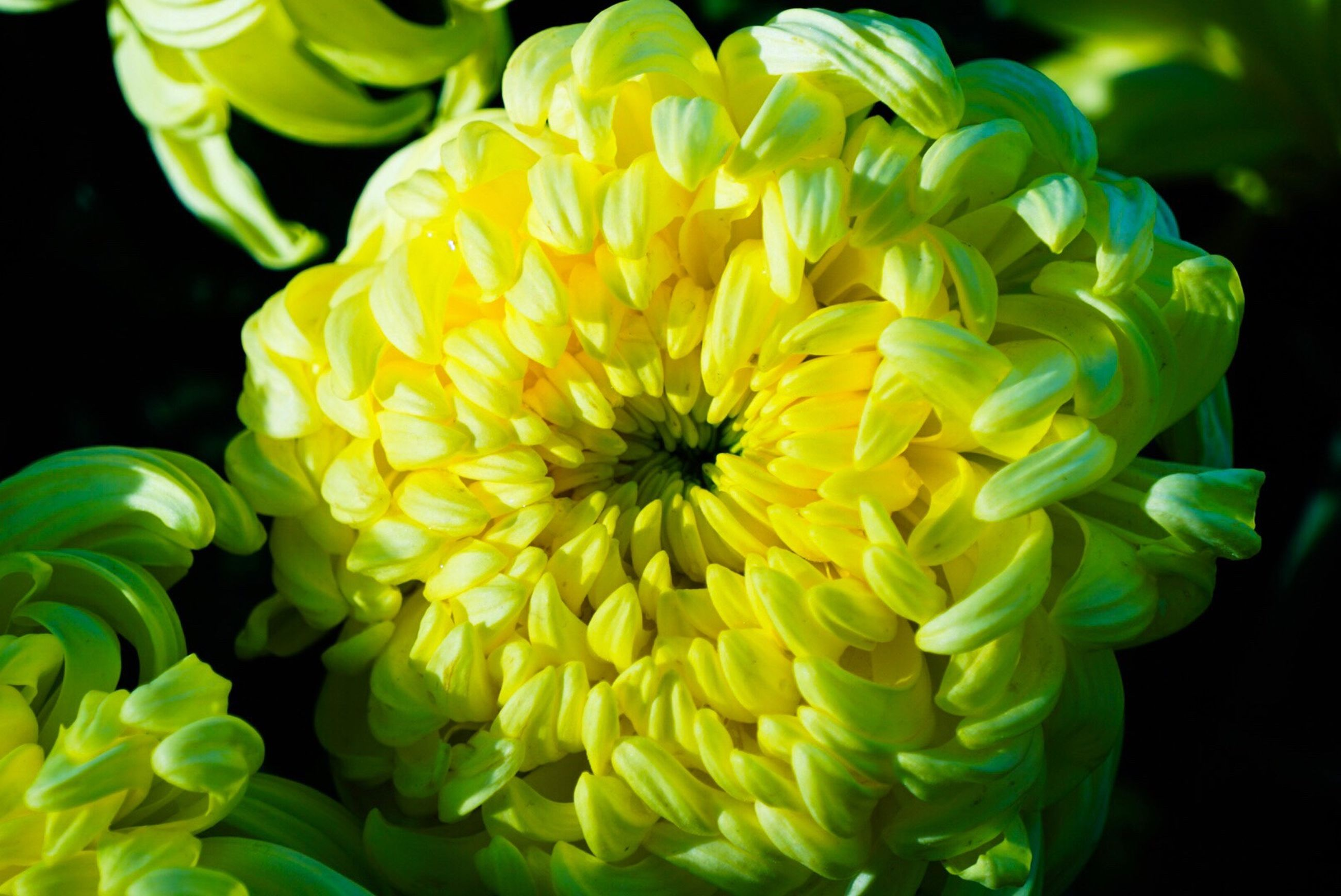 flower, fragility, yellow, petal, flower head, beauty in nature, nature, freshness, blooming, growth, close-up, green color, plant, no people, outdoors, day