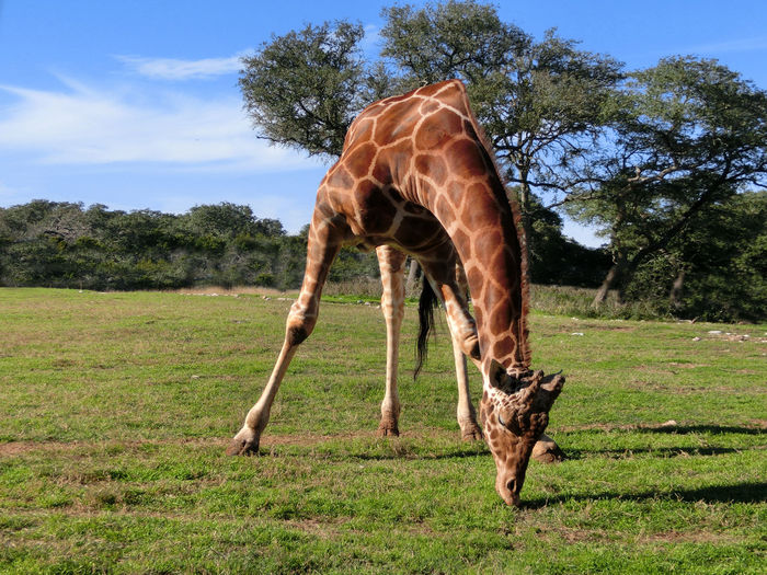 Animal Markings Animal Themes Animal Wildlife Animals In The Wild Beauty In Nature Day Field Full Length Giraffe Grass Grazing Green Color Mammal Nature No People One Animal Outdoors Safari Animals Sky Standing Tree