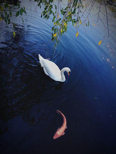 ファインダー越しの私の世界 写真で伝えたい私の世界 キリトリセカイ 東京カメラ部 Swan Bird Lake Nature Water Bird Floating On Water EyeEm Best Shots Silhouette Eyeemphotography Nature EyeEm EyeEm Gallery Japan Beautiful Beauty In Nature