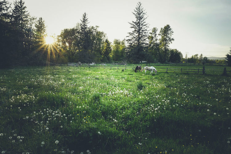 Sunset over a summer meadow Animal Animal Themes Beauty In Nature Domestic Domestic Animals Environment Field Grass Green Color Growth Land Landscape Lens Flare Mammal Nature No People Outdoors Pets Plant Sky Sunlight Tree Vertebrate
