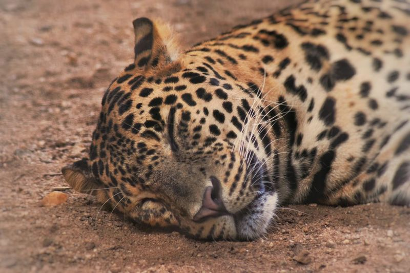 Close-Up Of Leopard Sleeping On Field