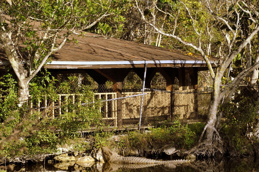 Alligator Built Structure Everglades  Miami No People Outdoors Water Wood - Material