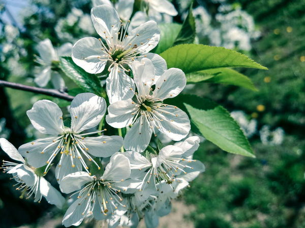 Nature Flower Growth Flower Head Plant Petal Beauty In Nature Fragility Close-up Outdoors Green Color Leaf Freshness Day No People Huawei P9 PhotosEyeEmNewHere Blossom HuaweiP9Photography Freshness White Color