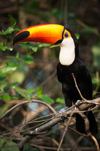 Animal Themes Animal Wildlife Animals In The Wild Beak Bird Branch Close-up Day Nature No People One Animal Outdoors Perching Toco Toucan