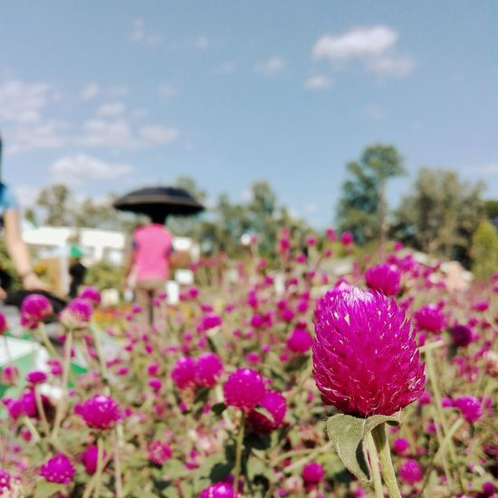 Pinky Flower Focus On Foreground Pink Color Growth Day Nature Beauty In Nature Outdoors Close-up Plant Fragility Thistle No People Freshness Flower Head Sky