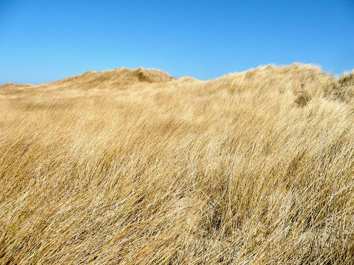 Breathing Space Clear Blue Sky Fresh Sea Air Frische See Luft Grass Bending In The Wind Reed Bending In The Wind Sylt Island Germany Beauty In Nature Clear Sky Grass Grass Covered Sand Dunes Landscape Nature No People Sand Dunes & Grass Tranquil Scene Tranquility