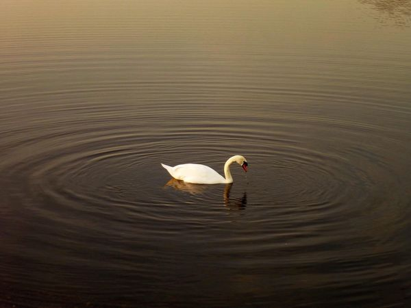 Nature Photography Nature Swan Animals In The Wild Lake Bird Swimming Water Animal Themes Swan Nature Animal Wildlife Waterfront Rippled One Animal Water Bird Outdoors Beauty In Nature Day Shades Of Winter Shades Of Winter