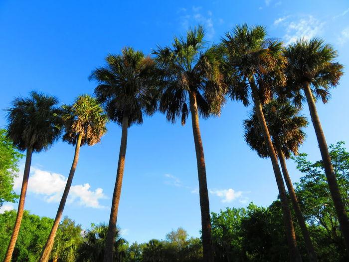 Seven palms Blue Sky Seven Palms Tropical Trees Tree Palm Tree Tree Area Blue Tree Trunk Sky Cloud - Sky