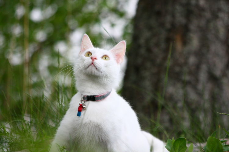 White Cat Looking Up On Field
