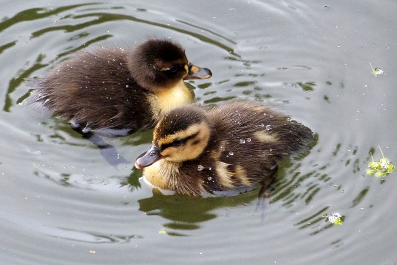 Close-up of ducklings swimming in lake