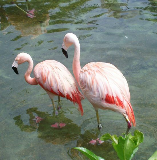 Two Is Better Than One Twins Pink Pink Color Pink Flamingos Pretty In Pink Standing Water Florida Feathers Pink Feathers Birds Pink Birds Beautiful Beautiful Birds. EyeEm Selects Sommergefühle The Week On EyeEm