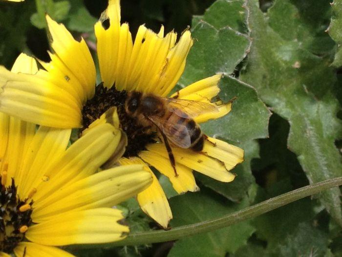 Daisy Flower Honeybee On Flower