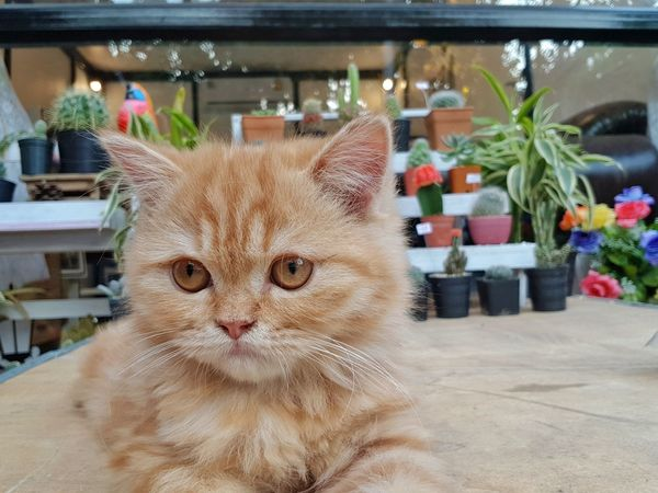 Pets Portrait Domestic Cat Feline Close-up Whisker Ginger Cat Tabby Cat Cat Tabby Maine Coon Cat Window Display Yellow Eyes At Home Carnivora Animal Face Pet Bed Tortoiseshell Cat Stray Animal Persian Cat  Bauble Kitten