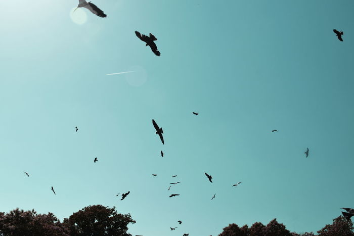 Many birds and a contrail Contrail Puy Du Fou Show Silhouettes Animal Show Animal Themes Animal Wildlife Beauty In Nature Bird Clear Sky Day Flock Of Birds Flying Large Group Of Animals Low Angle View Many Birds Mid-air Migrating Motion Nature No People Outdoors Sky Spread Wings Turquoise