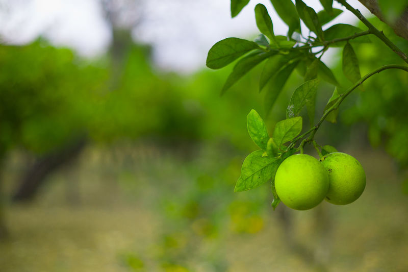 Agriculture Beauty In Nature Branch Close-up Day Freshness Fruit Green Color Growth Italy Leaf Lime Grove Lime Tree Nature No People Outdoors Sicily Travel Tree