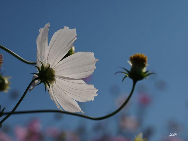白く染まれ E-PL3 Flower Cosmos No Edit/no Filter
