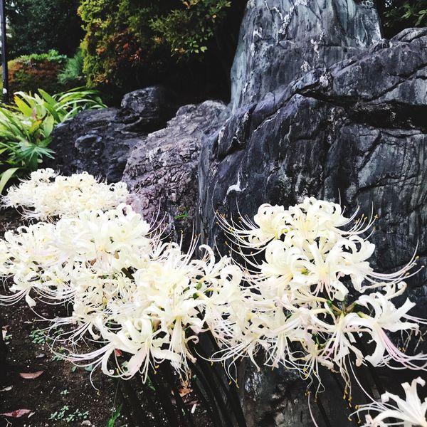 白彼岸花 リコリス Lycoris 彼岸花 曼珠沙華 Spiderlily WhiteSpiderlily White Color Flower Nature Beauty In Nature Freshness Flower Head Lycoris Freshness ひがんばな マンジュシャゲ