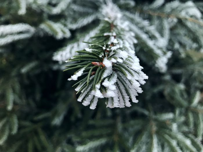 Natural Beautiful Frozen Fir Green Europe Romania Plant Focus On Foreground Snow Cold Temperature Close-up Winter Frozen Nature Beauty In Nature Day No People Green Color Growth Tree Pine Tree Coniferous Tree Ice Branch Outdoors Needle - Plant Part