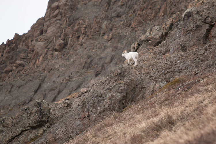 White Bighorn Sheep On Rock