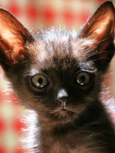Little Frankie. Kitten Cat Lovers Cute Kitten Black Kitten Black Kitty Cat Cats Of EyeEm Cats Eyes Cats Lovers  Kittenoftheday Robin Fifield - Cats. Francisco The Cat Much missed. Pet Portraits