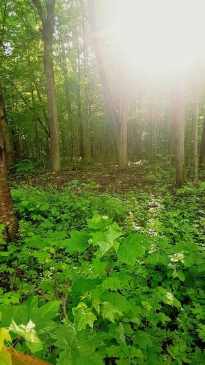 Nature Growth Beauty In Nature Tree Forest Green Color Sunlight Tranquility Leaf No People Outdoors Scenics Day Freshness Lush Foliage Grass Mysoulreflection Mythoughts Mylife Mypain Mytlp моимысли мояжизнь мояболь моимжб