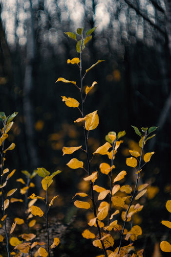 Bright yellow autumn leaves in front of the forest