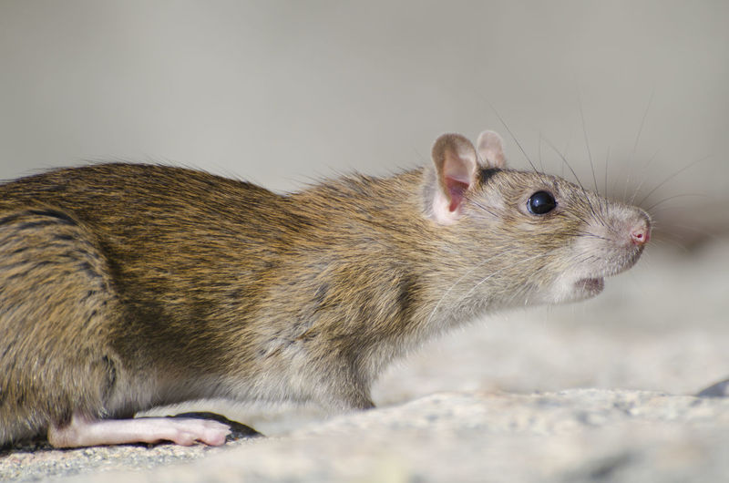 Close up On a Wild Brown Rat Sniffing in the Air. Animal Rodent Animal Themes Mammal One Animal Animal Wildlife Close-up Pets No People Rat Animals In The Wild Mouse Profile View Side View Hamster Brown Color Sniffing Cute Close Up Wildlife Color Day Sunlight