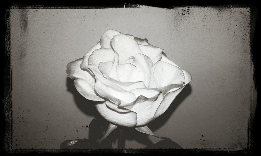 A rose. Nature Rose🌹