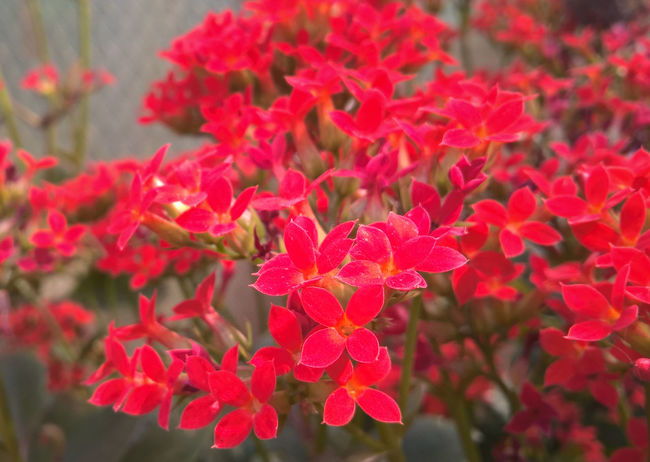 Beauty In Nature Blooming Close-up Flower Flower Head Focus On Foreground Fragility Freshness Growth Ixora Petal Plant Red