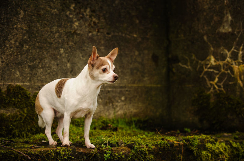Dog Standing On By Wall