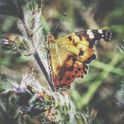 Kelebek - Butterfly