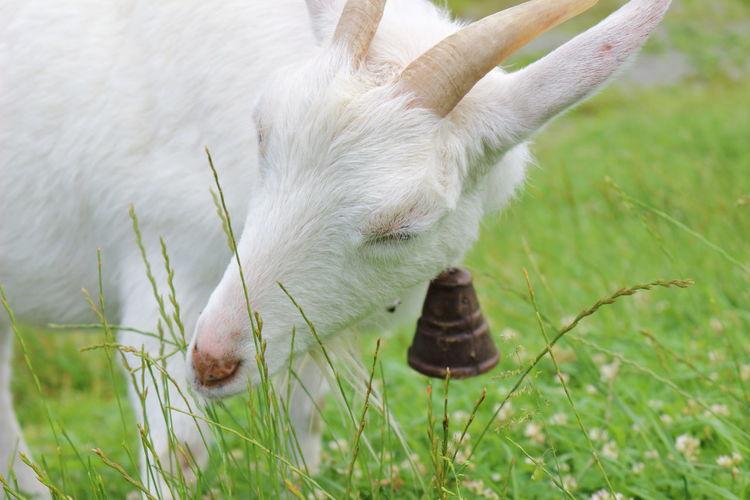 Close-up of white goat on grassy field