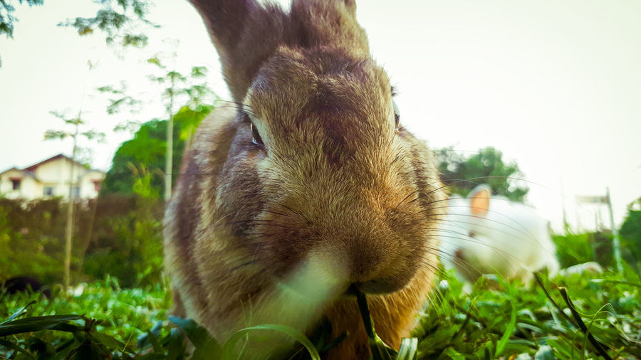 Brown Rabbit...