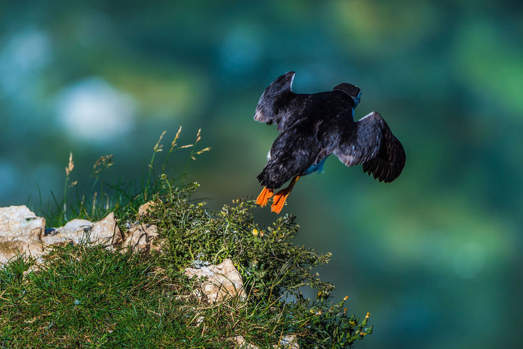 Animal Themes Animal Wildlife Animals In The Wild Beauty In Nature Bird Blackbird Close-up Day Flying Focus On Foreground In Flight Nature No People One Animal Outdoors Puffin Seabird Seabirds Spread Wings The Great Outdoors - 2017 EyeEm Awards