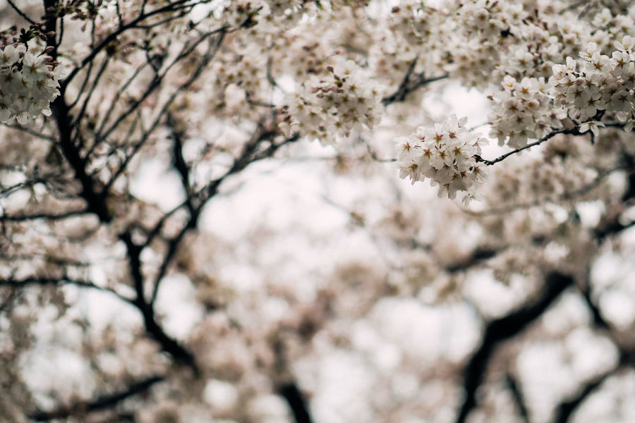 Low Angle View Of Cherry Blossoms In Spring Beauty In Nature Blossom Botany Branch Cherry Blossom Cherry Tree Close-up Flower Fragility Freshness Growth Horizontal Japan Low Angle View Nature No People Petal Sakura Selective Focus Springtime Sunlight Tokyo Tree White Color