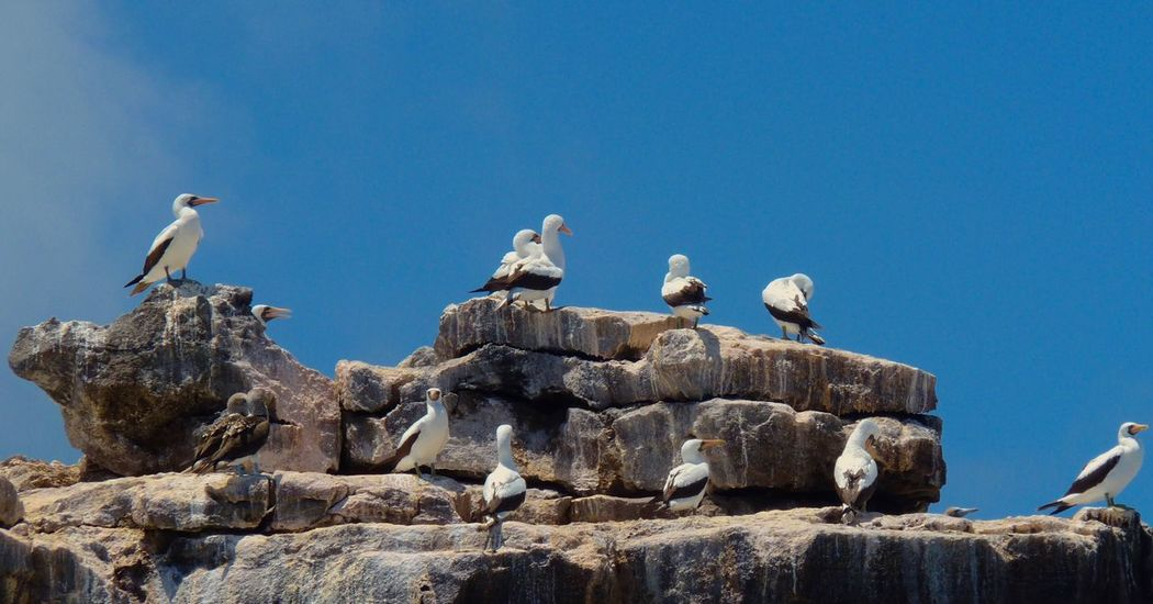 Birds Rock Rock Formation Perching Clear Sky Day Outdoors Landscape Large Group Of Animals Masked Boobie Galapagos Islands Ecuador South America Bird Animal Themes Animals In The Wild Animal Wildlife Blue Rock - Object Large Group Of Animals No People Nature Clear Sky Togetherness Sky