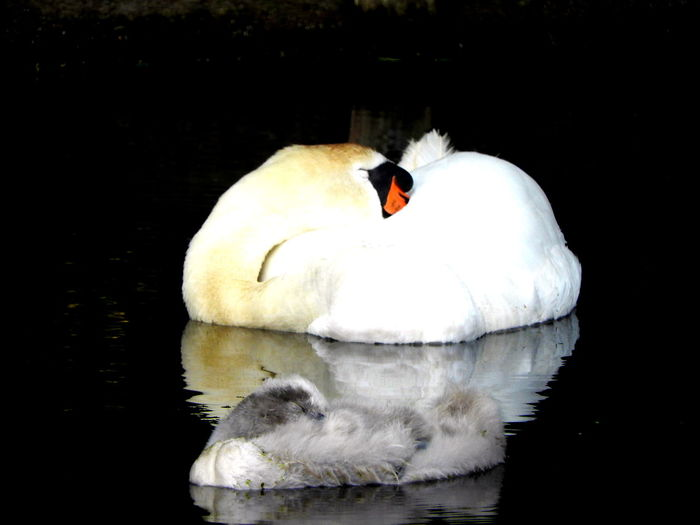 sleeping beauty 43 Golden Moments Animal Beautiful Beauty Bird Close-up Cygnet Feather  Floating On Water Gold Nature No People Outdoors Sleeping Swans Water Water Bird