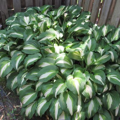Happy Hosta 💚 Varigated Leaves Hosta Green Color Growth Plant Leaf Abundance High Angle View Close-up Nature Beauty In Nature Freshness