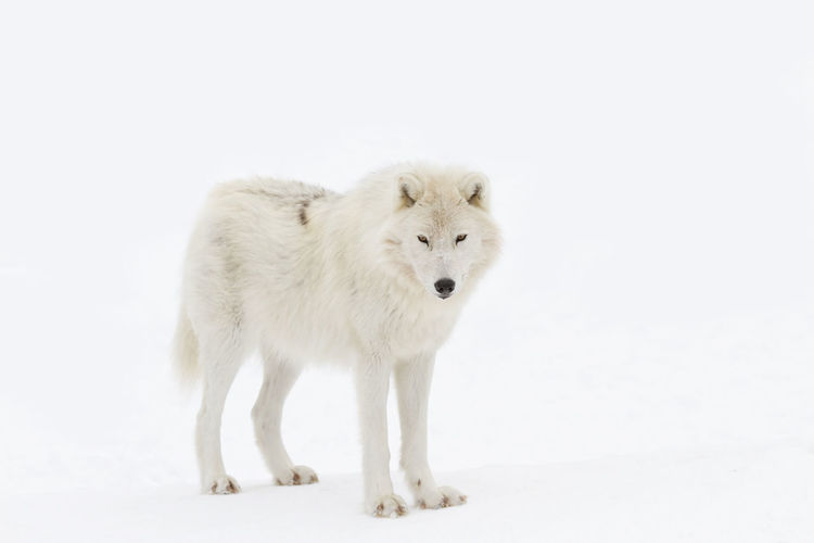 White dog standing on snow