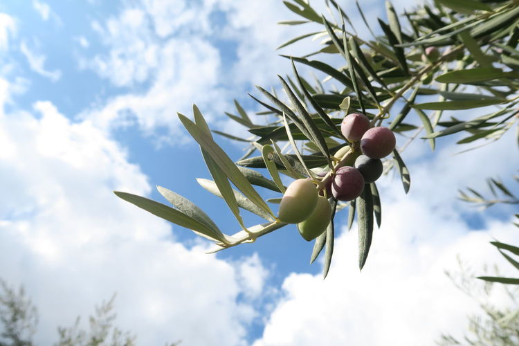Low angle view of fruits on tree against sky