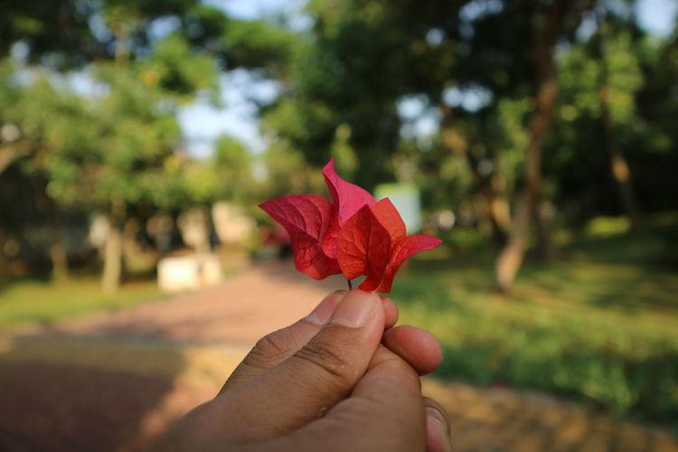 Cropped hand holding bougainvillea