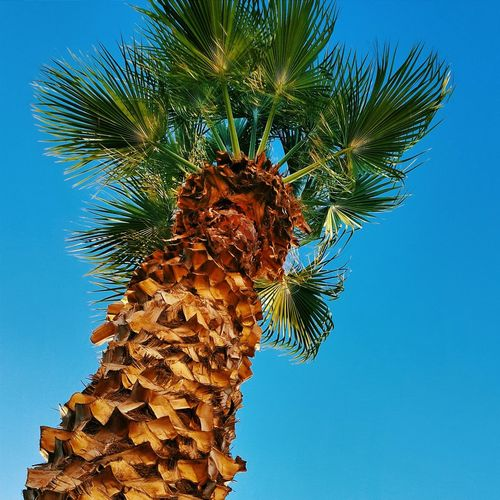 Palm Trees Sky Blue Skies Nature Calm Sky_collection Tree Low Angle View Day Tropical Vivid Colour Summer