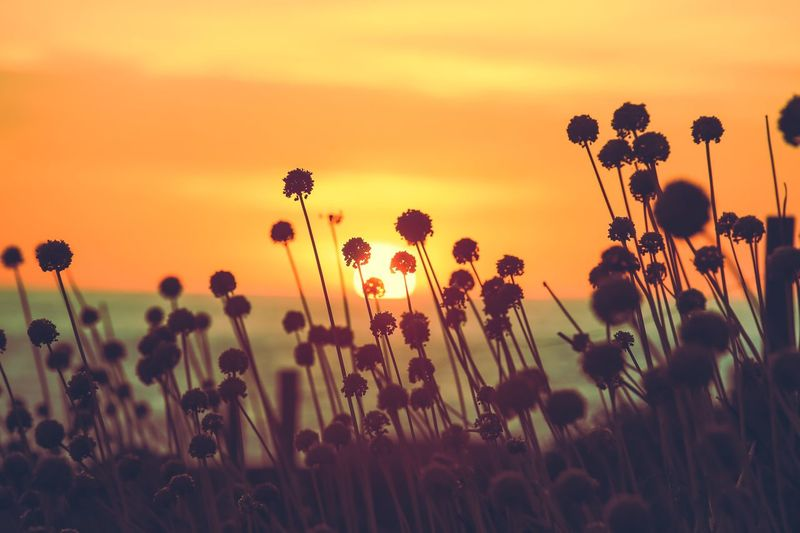 Close-Up Of Plants Growing On Field Against Sky During Sunset