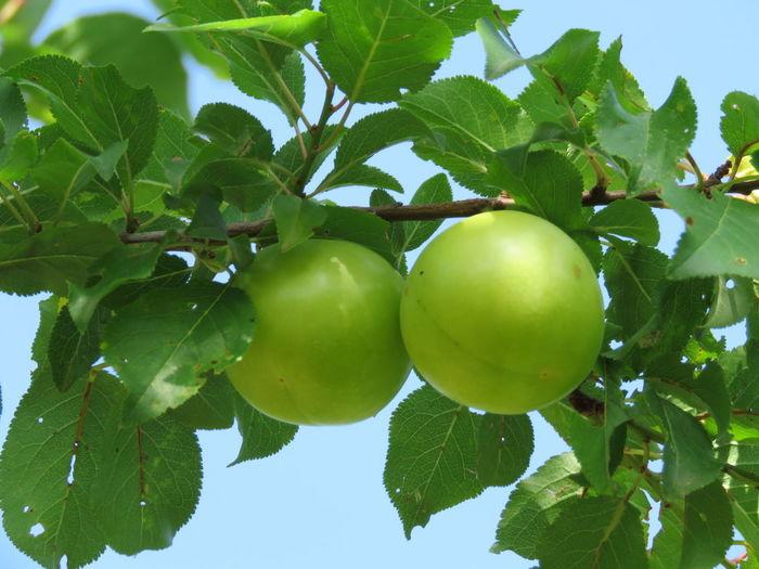 Tree Sour Taste