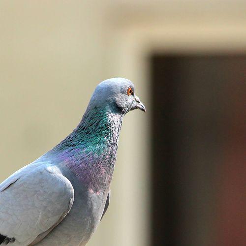 Pigeon EyeEm