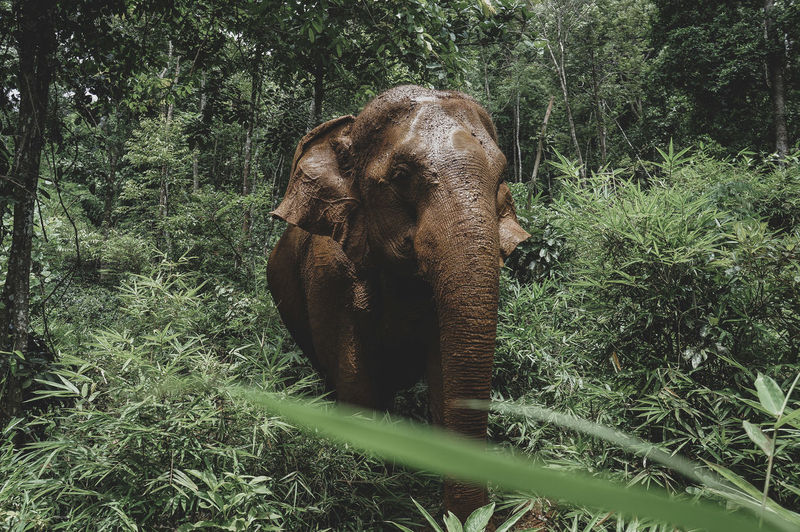 Elephant amidst trees in forest